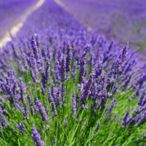 Herb and Spices – Lavender